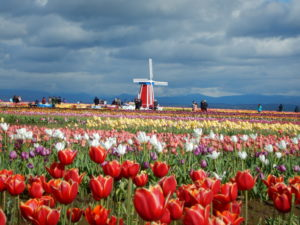 May tulips